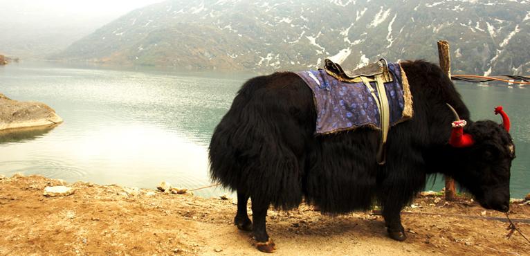 yak-safari
